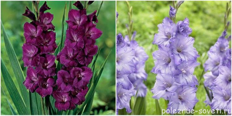 Сорта голубых и фиолетовых гладиолусов