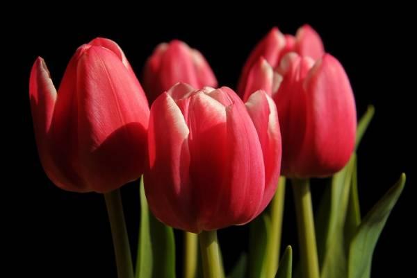 Когда и как сажать тюльпаны осенью правильно: полезные советы