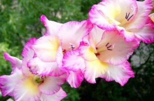 Когда выкапывать гладиолусы после цветения
