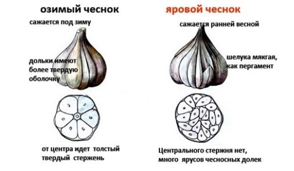 Сорта озимого чеснока