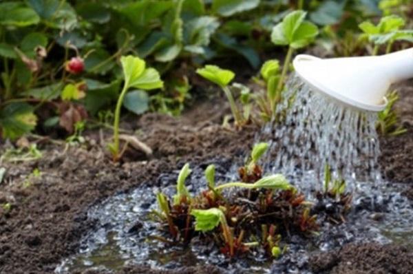 Подкормка клубники весной: как и чем правильно удобрять