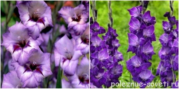 Сорта фиолетовых гладиолусов