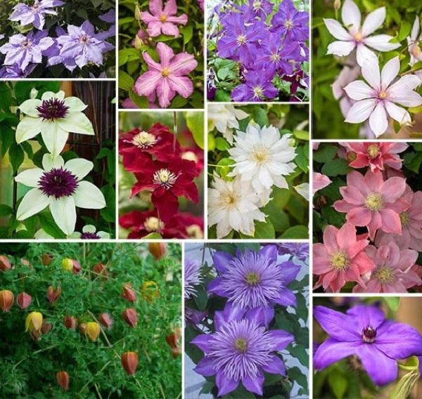 Клематисы: сорта и разновидности цветов