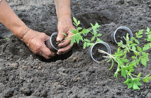 Когда июне высаживать рассаду помидоров в открытый грунт