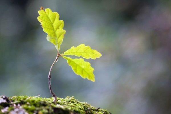 Как вырастить дуб из желудя дома